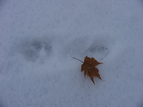 Coyote Prints on the Snow (michael plishka, 2008)